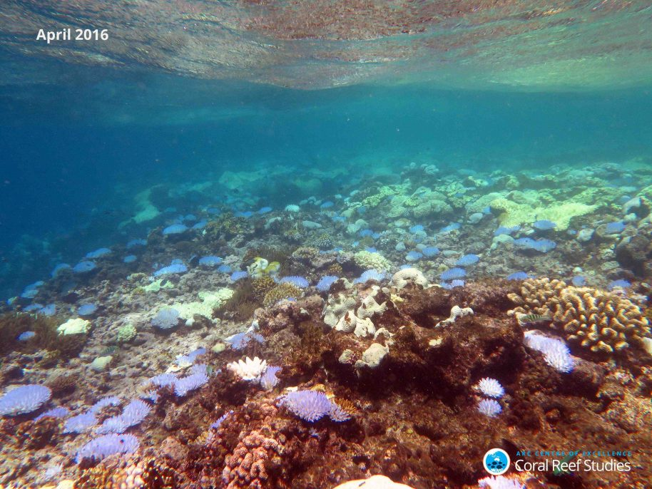 Extensive bleaching of Acropora corals on the reef crest of North Direction Island April 13 2016, Credit Andrew Hoey