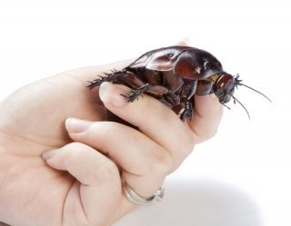 Expert Says Giant Palm-Sized Cockroaches Make 'Great Pets' For Kids