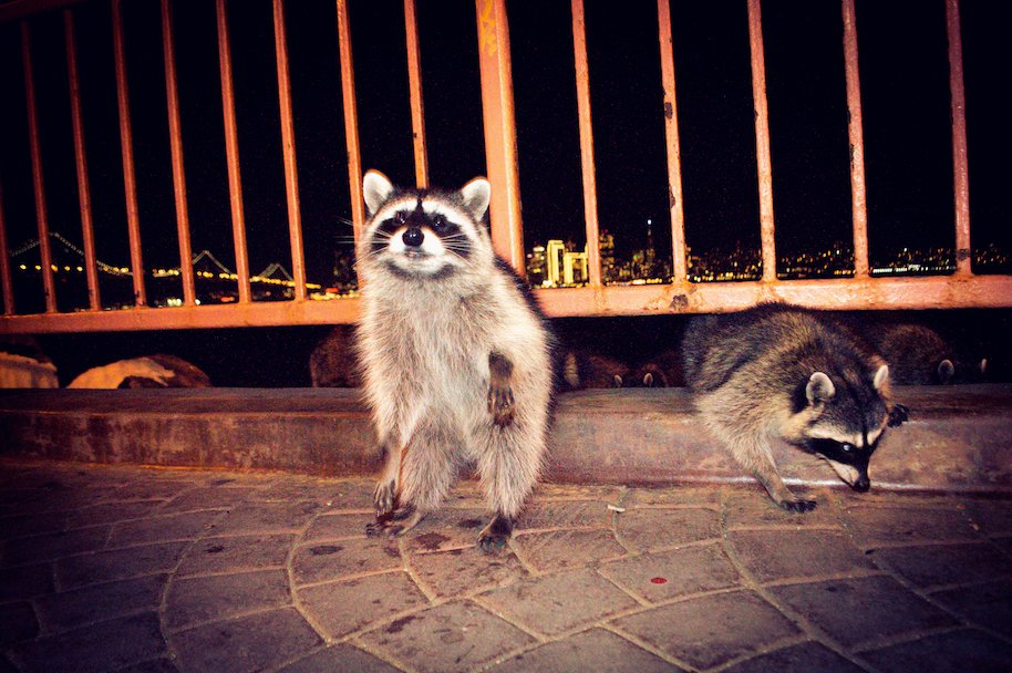 raccoon, nocturnal animals