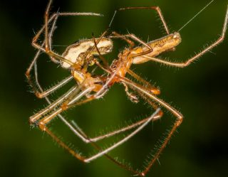 4 Spiders With Seriously Strange Mating Rituals