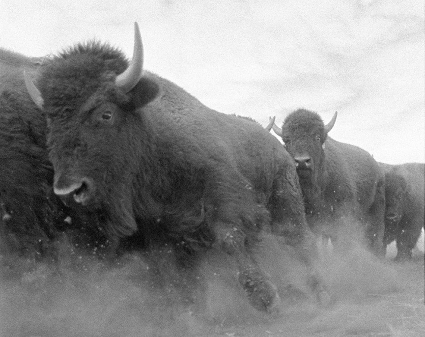 James Balog. American bison, Colorado, 1991, chromogenic print on Fujifilm Crystal Archive paper, 2016, 13 x 10.5 inches, Courtesy of the artist.