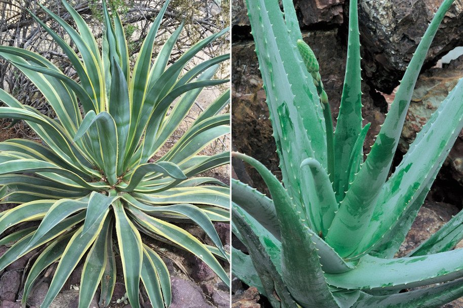 Agave (left) and aloe vera (right) look similar. Photo: (Getty)