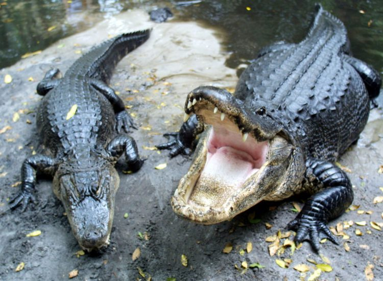 Horny Alligators Florida