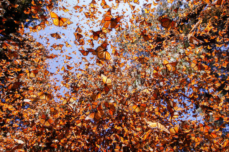 Butterflies From Mexico Prove No Wall Will Stop Their Migration to California