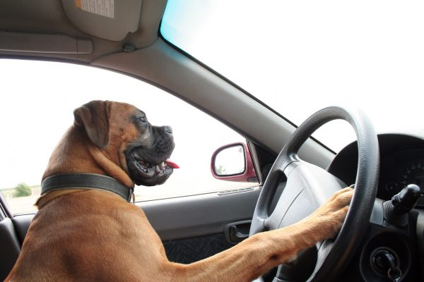 Meanwhile In Florida: Dog Hijacks Car and Does Donuts For Over an Hour (Another Holiday Miracle!)
